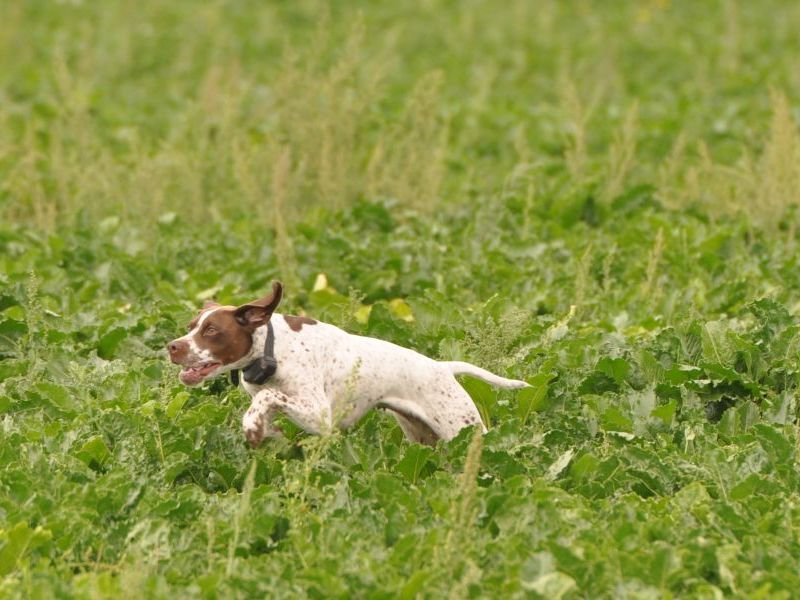 Braque Français Type Pyrénées. Franse Pointer van het Pyrenese Type. French Pyrenean Pointer. Staande jachthond FCI groep 7. Pointing dog FCI group 7. Chien d'arrêt FCI groupe 7. French Pointing Breeds. Französische Vorsteher international. Fokker. Breeder. Eleveur.