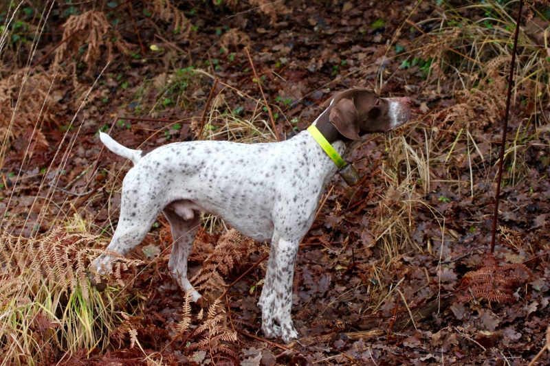 Braque Français Type Pyrénées Gibus staat voor op houtsnip tijdens de jacht in het bos. Braque Français Type Pyrénées. Franse Pointer van het Pyrenese Type. French Pyrenean Pointer. Staande jachthond FCI groep 7. Pointing dog FCI group 7. Chien d'arrêt FCI groupe 7. French Pointing Breeds. Französische Vorsteher international. Fokker. Breeder. Eleveur.