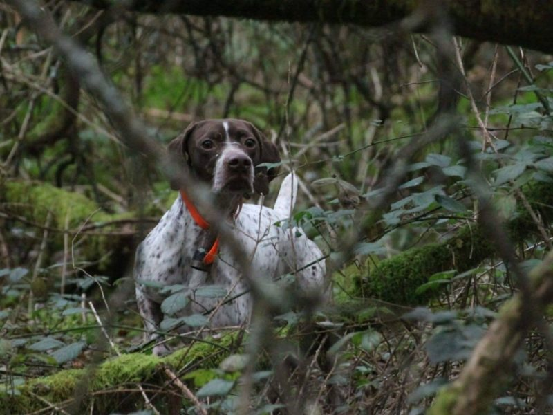 Gibus, Braque Français Type Pyrénées, aan het jagen in het bos. Braque Français Type Pyrénées reu. Franse Pointer van het Pyrenese Type. French Pyrenean Pointer. Staande jachthond FCI groep 7. Pointing dog FCI group 7. Chien d'arrêt FCI groupe 7. French Pointing Breeds. Französische Vorsteher international. Fokker. Breeder. Eleveur.