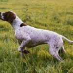 Braque Français Type Pyrénées Juno staat voor op kleinwild tijdens de jacht. Braque Français Type Pyrénées. Franse Pointer van het Pyrenese Type. French Pyrenean Pointer. Staande jachthond FCI groep 7. Pointing dog FCI group 7. Chien d'arrêt FCI groupe 7. French Pointing Breeds. Französische Vorsteher international. Fokker. Breeder. Eleveur.