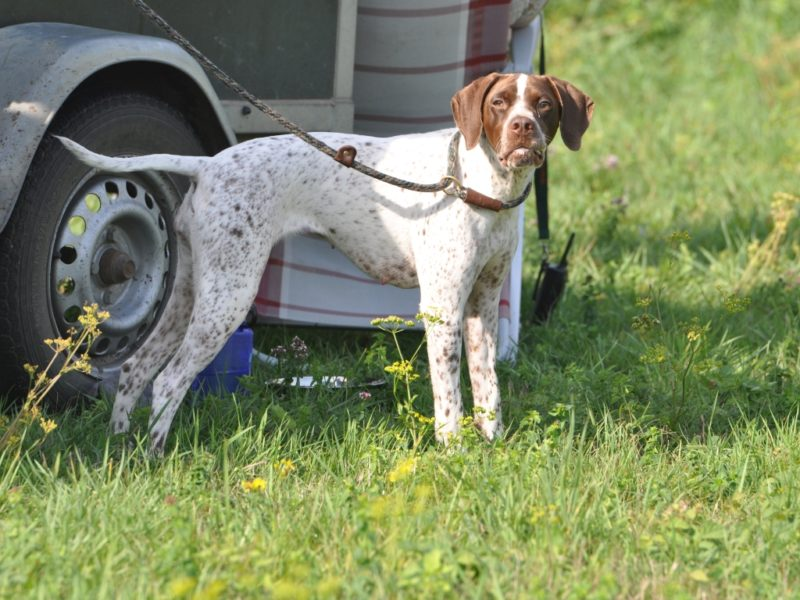 Juno, Braque Français Type Pyrénées, tijdens een pauze in de jachttraining. Braque Français Type Pyrénées teef. Franse Pointer van het Pyrenese Type. French Pyrenean Pointer. Staande jachthond FCI groep 7. Pointing dog FCI group 7. Chien d'arrêt FCI groupe 7. French Pointing Breeds. Französische Vorsteher international. Fokker. Breeder. Eleveur.