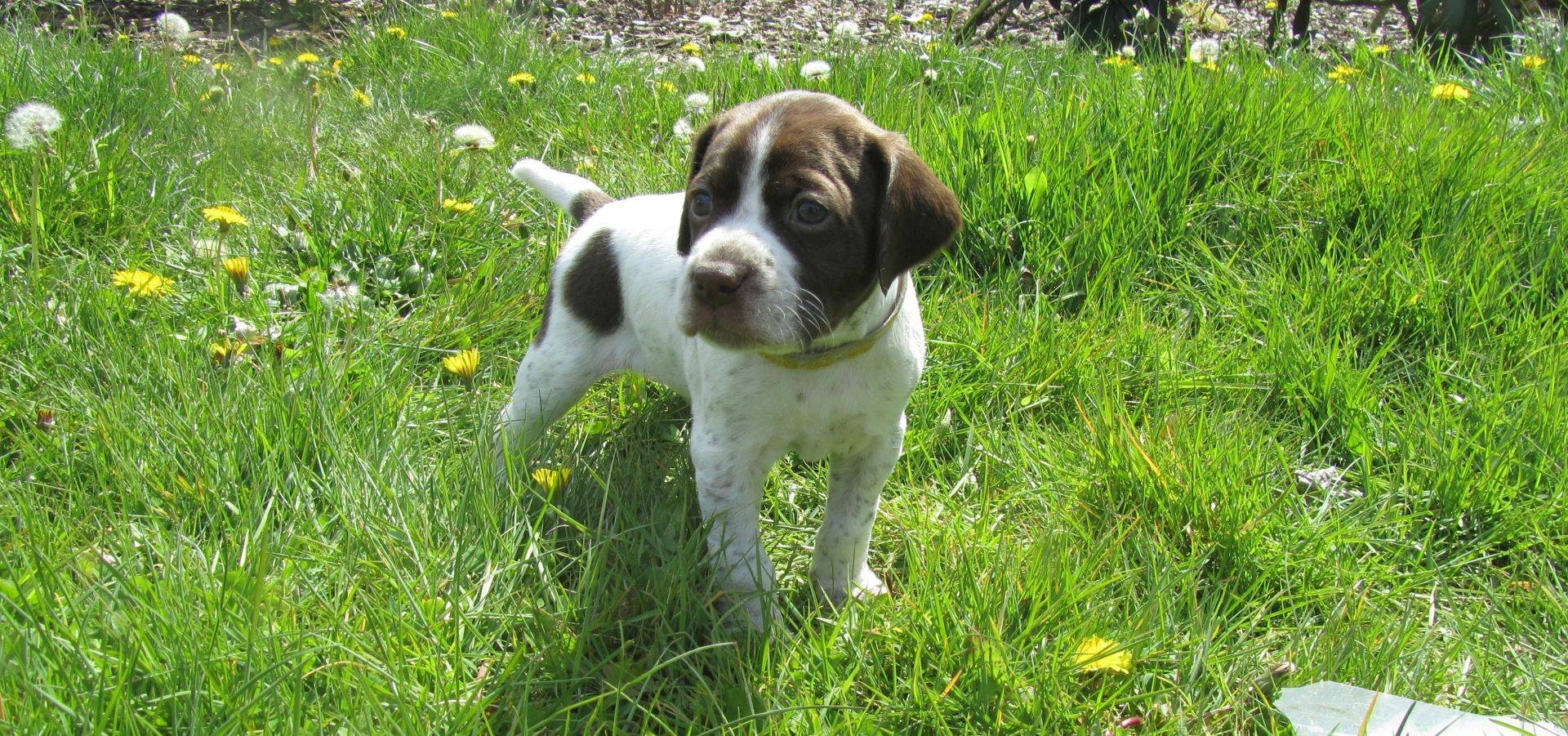 Pups. Puppies. Chiots. Braque Français Type Pyrénées. Franse Pointer van het Pyrenese Type. French Pyrenean Pointer. Staande jachthond FCI groep 7. Pointing dog FCI group 7. Chien d'arrêt FCI groupe 7. French Pointing Breeds. Französische Vorsteher.
