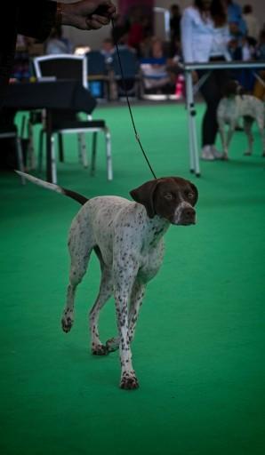 Fokker. Breeder. Eleveur. Braque Français Type Pyrénées. Franse Pointer van het Pyrenese Type. French Pyrenean Pointer. Staande jachthond FCI groep 7. Pointing dog FCI group 7. Chien d'arrêt FCI groupe 7. French Pointing Breeds. Französische Vorsteher.